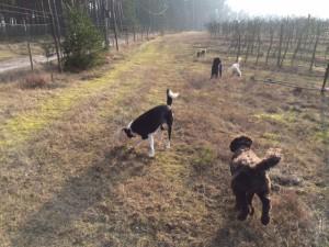Hundarna i äppelodlingen 16